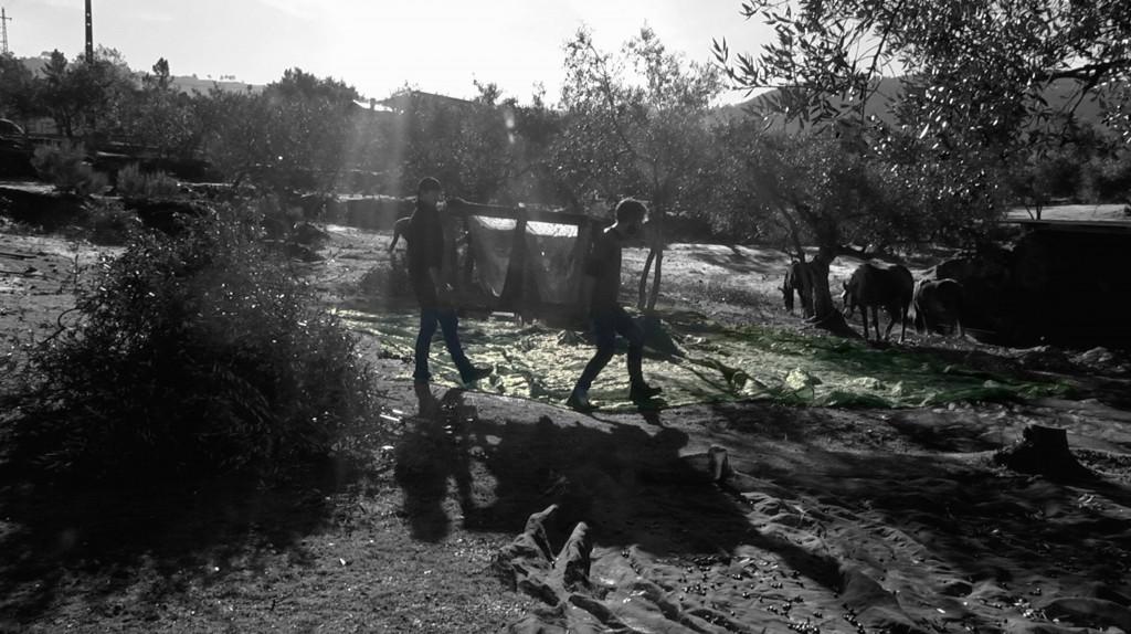 still Olive harvest Dominio